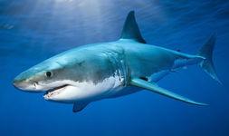 Great-white-shark-evans-head-595103