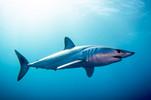 Mako-shark0skin